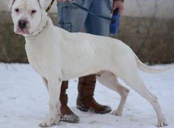 Zimba – Dogo Argentino