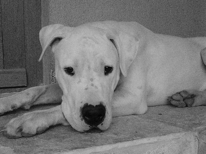 Diesel – Dogo Argentino