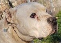 Alex – Dogo Argentino