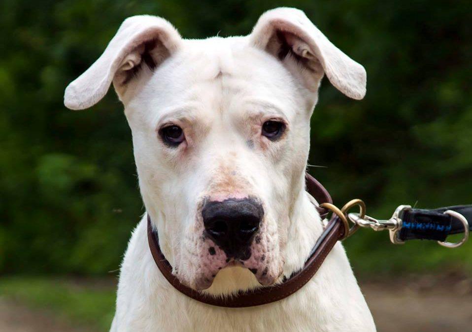 Donna – Dogo Argentino