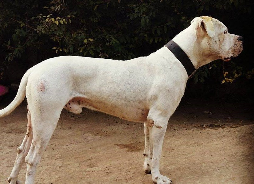 Zebi – Dogo Argentino